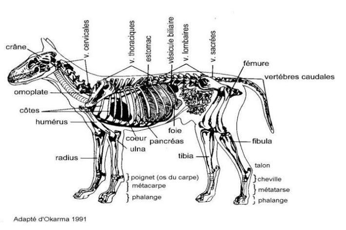 Le loup caract ristiques descriptif mode de vie le for Caracteristique anglais